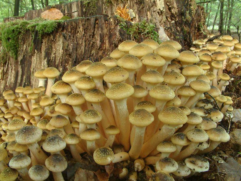 гриб опенок осенний фото