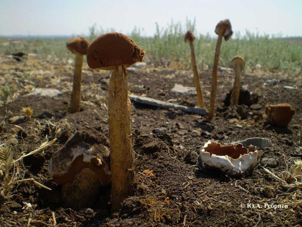 несъедобные грибы воронежской области фото и описание