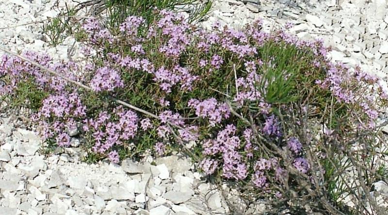 Растения Дивногорья