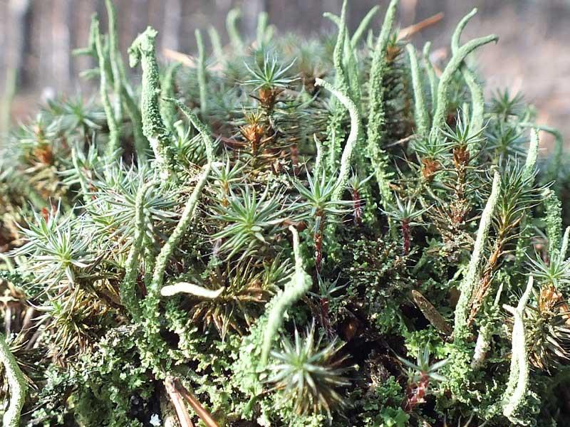 фото травы чабрец