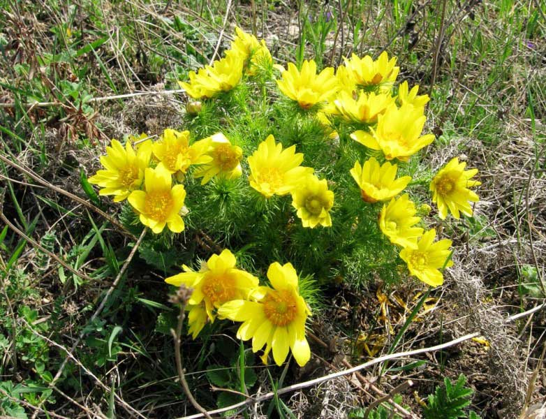 растения воронежской области фото и описание
