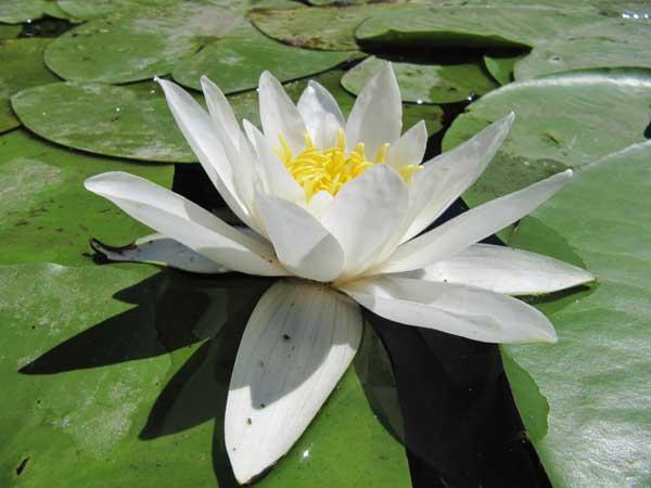 растения пресных вод фото и названия для